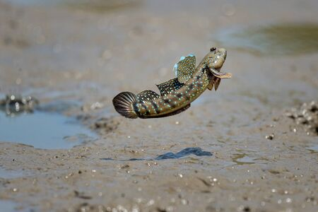 close up action Mudskipper jump in the sea Imagens