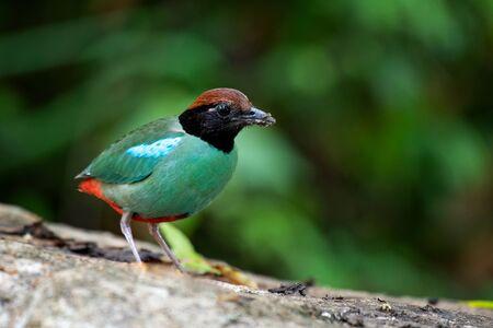 close up Pitta Bird  in nature from bangkok thailand
