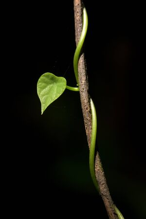 close up Heart shaped ivy wrapped on a branch