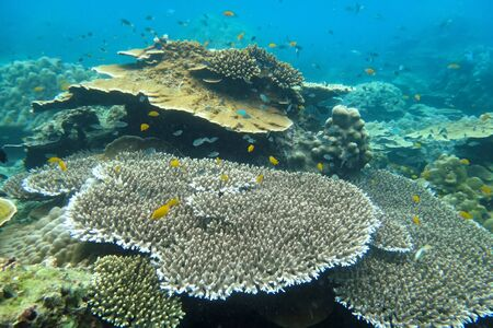 Staghorn coral under the sea in the cockburn island of Myanmar