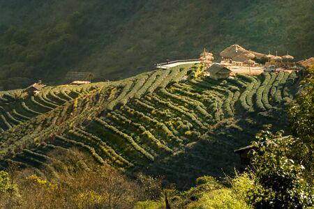 Tea plantation Фото со стока