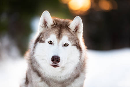 Close-up portrait of cute, beautiful and happy siberian Husky dog sitting on the snow in winter fairy forest at golden sunset