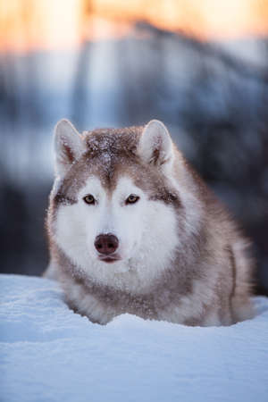 Beautiful, happy and cute Siberian Husky dog lying on the snow path in the winter forest at sunset.