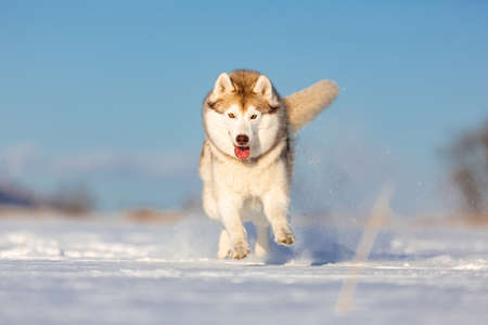 Crazy, happy and beautiful beige and white dog breed siberian husk running on the snow in the winter field.
