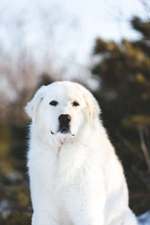 Gorgeous and free maremmano abruzzese sheepdog. Portrait of big white fluffy dog is on the snow in the forest in winter