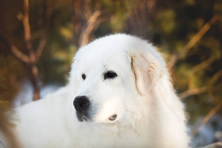 Beautiful and wise maremmano abruzzese sheepdog. Close-up of big white fluffy dog is on the snow in the forest in winter Foto de archivo - 120071642