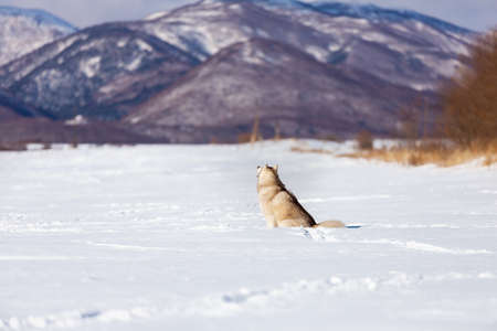 Portrait of gorgeous, free and prideful dog breed siberian husky sitting in the snow field back to the camera in winter on mountain background at sunset and enjoying the view