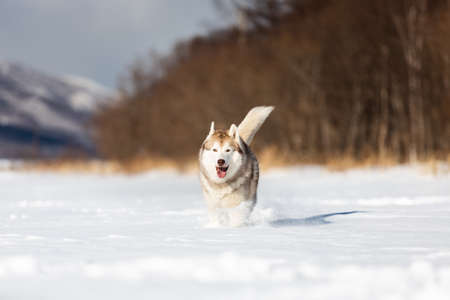 Portrait of beautiful, happy and funny beige and white dog breed siberian husky with tonque out running on the snow in the winter field. husky dog has fun on sunny day