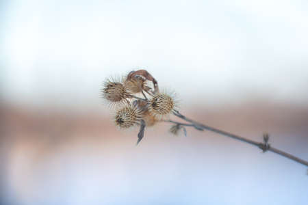 Close-up image of Old Dry burdock at sunset in winter. Natural background