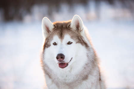 Close-up Portrait of gorgeous, happy and free Siberian Husky dog sitting on the snow in the winter enchanting forest at sunset