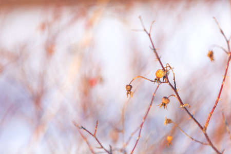 Image of Branches of rosehip bush with snow at sunset in backlight in winter. Natural background