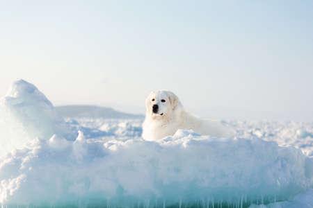 Portrait of gorgeous, prideful and free maremmano abruzzese dog on ice floe on the frozen Okhotsk sea background. Image of Free and wise maremma dog is lying on the snow. Big fluffy white dog