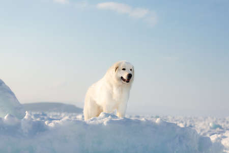 Profile Portrait of gorgeous, prideful and free maremmano abruzzese dog on ice floe on the frozen sea background. Image of wise maremma dog is standing on the snow. Big fluffy white dog at sunset Stock Photo
