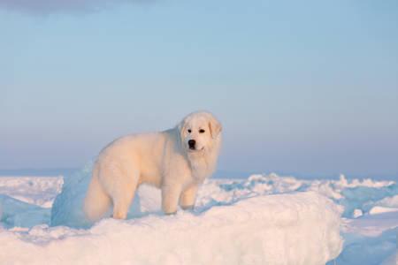 Portrait of gorgeous, prideful and free maremmano abruzzese dog on ice floe on the frozen Okhotsk sea background. Image of Free and wise maremma dog is lying on the snow. Big fluffy white dog at sunset