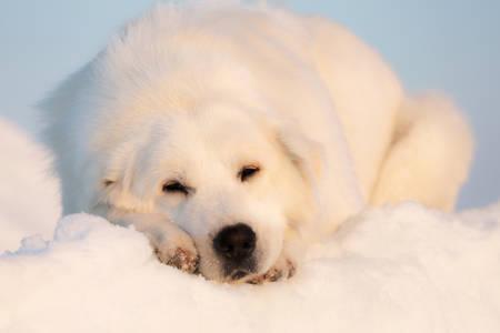 Close-up Portrait of gorgeous, sad and free maremmano abruzzese dog on ice floe on the frozen Okhotsk sea background. Image of Free and wise maremma dog is lying on the snow