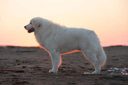 Portrait of beautiful, happy and free maremmano abruzzese dog on the beach. Image of wise maremma dog is standing on the sand. Big fluffy white dog at golden sunset in backlight