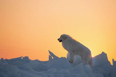 Portrait of beautiful, happy and free maremmano abruzzese dog on ice floe on the frozen Okhotsk sea background. Image of wise maremma dog is standing on the snow. Big fluffy white dog at golden sunset