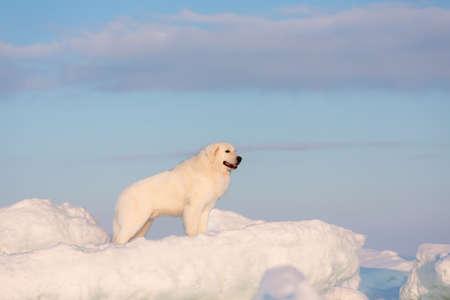 Portrait of gorgeous, happy and free maremmano abruzzese dog on ice floe on the frozen Okhotsk sea background. Image of wise maremma dog is standing on the snow. Big fluffy white dog at sunset Stok Fotoğraf