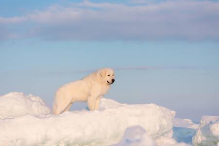 Portrait of beautiful, prideful and free maremmano abruzzese dog on ice floe on the frozen Okhotsk sea background. Image of wise maremma dog is standing on the snow. Big fluffy white dog at sunset