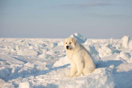 Portrait of gorgeous, prideful and free maremmano abruzzese dog on ice floe on the frozen Okhotsk sea background. Image of wise maremma dog is sitting on the snow. Big fluffy white dog Stockfoto