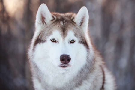 Close-up Portrait of beautiful, prideful and free Siberian Husky dog sitting on the snow path in the fairy winter forest at sunset.