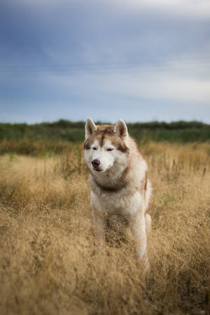 Close-up Portrait of free and prideful beige and white siberian husky dog with brown eyes sitting in the withered grass at sunset