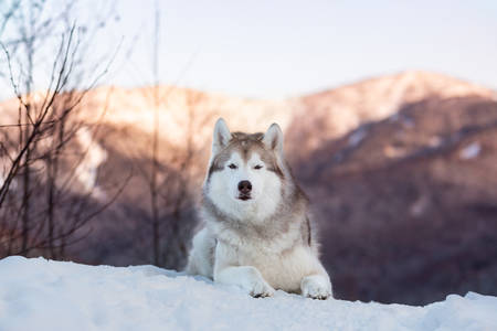Portrait of beautiful Siberian Husky dog lying is on the snow in winter forest at sunset on bright mountain background. Husky dog looks like a wolf