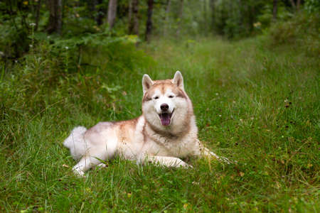 Portrait of happy and beautiful beige and white dog breed siberian husky with tonque hanging out lying in the grass in early fall on rainy day