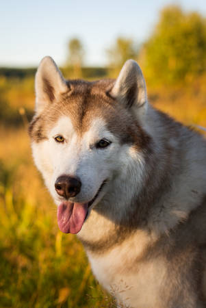 Close-up Portrait of gorgeous and free Siberian Husky dog with tonque hanging out sitting in the bright autumn field