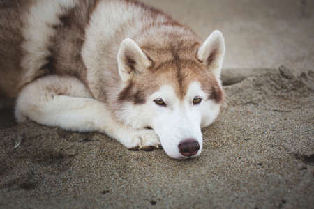 Close-up Portrait of beautiful and wistful siberian husky dog lying on the sand on sea front at sunset.