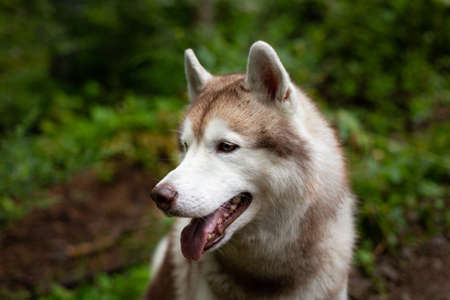 Profile portrait of beautiful dog breed siberian husky in the forest on rainy day