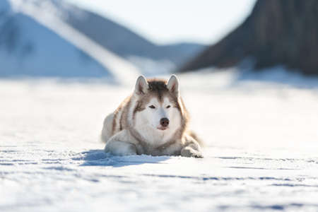 Close-up Portrait of beautiful Siberian husky on ice floe on the frozen Okhotsk sea and snow capped peak's background. Image of Free and wise husky dog is lying on the snow on mountain's background
