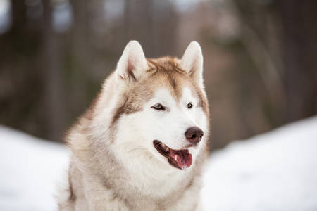 Profile Portrait of beautiful, cute and free Siberian Husky dog sitting on the snow path in the mysterious winter forest Stock fotó