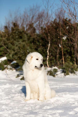 Portrait of beautiful and free maremmano abruzzese sheepdog. Profile image of big white fluffy dog sitting on the snow in the forest in winter on sunny day