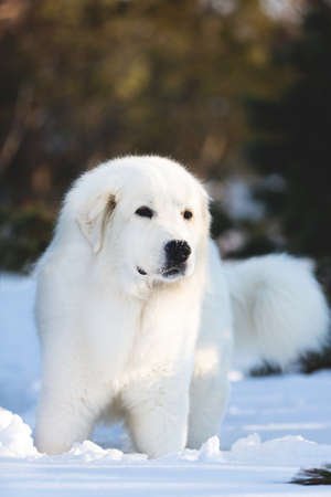 Close-up Portrait of beautiful, happy and free maremmano abruzzese sheepdog. Profile image of big white fluffy dog standing on the snow in the forest in winter at sunset