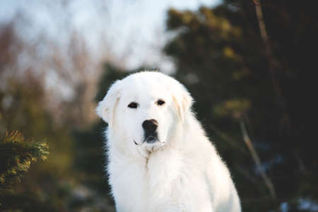 Portrait of gorgeous, wise and free maremmano abruzzese sheepdog. Profile image of big white fluffy dog sitting on the snow in the forest in winter on sunny day at sunset