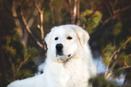 Portrait of gorgeous and free maremmano abruzzese sheepdog. Close-up of big white fluffy dog lying on the snow in the forest in winter at sunset