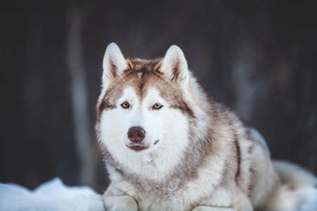 Close-up Portrait of beautiful, happy and free Siberian Husky dog lying on the snow path in the winter forest