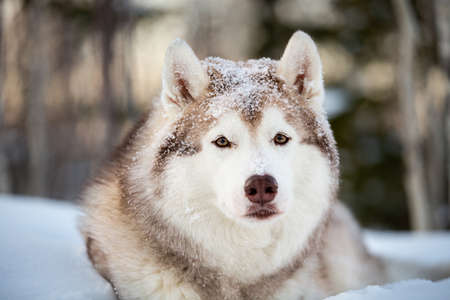 Close-up Portrait of beautiful, happy and cute Siberian Husky dog sitting on the snow path in the mysterious winter forest at sunset.