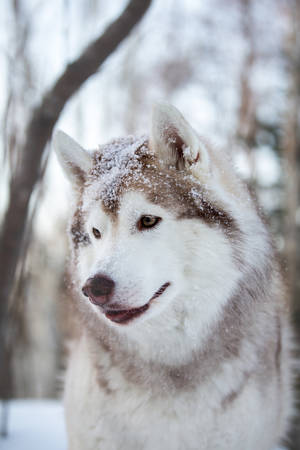 Profile Portrait of beautiful, prideful and adorable Siberian Husky dog sitting on the snow path in the mysterious winter forest at sunset.