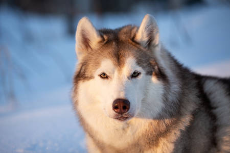 Close-up Portrait of beautiful, happy and free Siberian Husky dog lying on the snow path in the winter forest at golden sunset