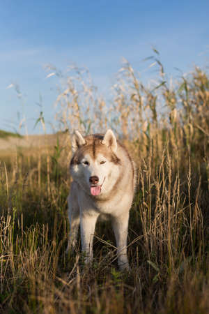 Portrait of lovely beige and white siberian husky dog with brown eyes and tonque hanging out standing in the high withered grass meadow near the sea at golden sunset.
