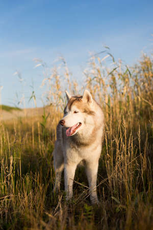 Profile Portrait of adorable beige and white siberian husky dog with brown eyes and tonque hanging out standing in the high withered grass meadow near the sea at golden sunset.