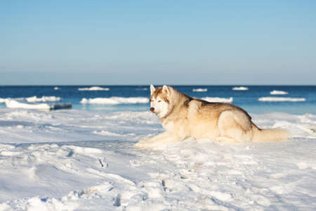 Portrait of beautiful Siberian husky on ice floe on the frozen Okhotsk sea background. Image of gorgeous, free and wise husky dog is lying on the snow and looking into the distance.