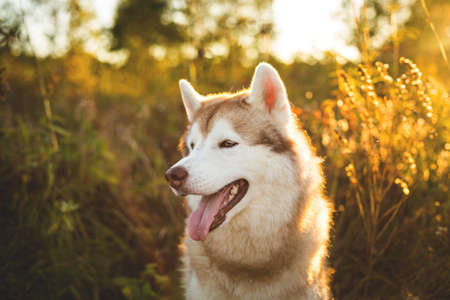 Close-up Portrait of gorgeous Beige and white Siberian Husky dog at sunset. Image of young and beautiful husky male looks like a wolf in the bright golden forest in autumn