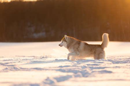 Portrait of Crazy, happy and cute beige and white dog breed siberian husky running on the snow in the winter field at golden sunset in backlight. Playful husky dog