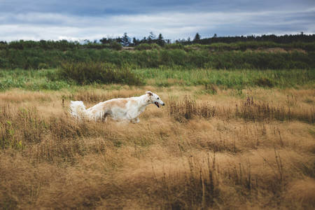 Portrait of beautiful and free dog breed russian borzoi running and jumping in the withered grass field in fall at sunset