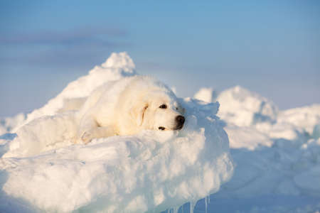 Profile Portrait of beautiful, wistful and free maremmano abruzzese dog on ice floe on the frozen Okhotsk sea background. Image of wise maremma dog is lying on the snow. Big fluffy white dog