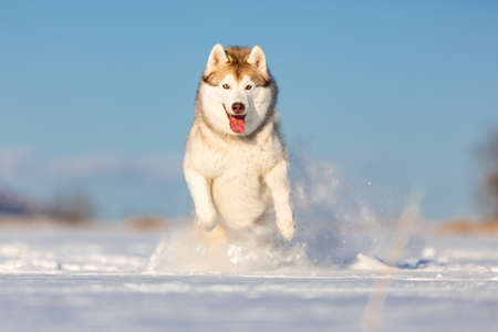 Crazy, happy and cute beige and white dog breed siberian husky with tonque out jumping and running on the snow in the winter field. husky dog has fun on blue sky background Stock Photo
