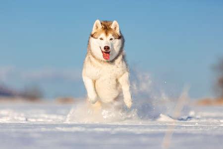 Loco, feliz y lindo perro beige y blanco raza husky siberiano con tonque saltando y corriendo sobre la nieve en el campo de invierno. Perro husky se divierte sobre fondo de cielo azul Foto de archivo